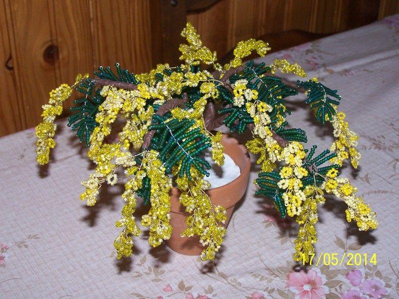 mimosa1.jpg